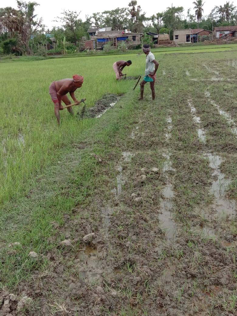 Paddy Seedling Plantation By Mukti