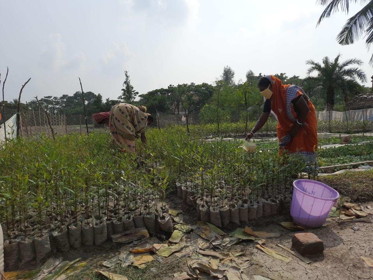 Mangrove Nursery At Hingalgunj