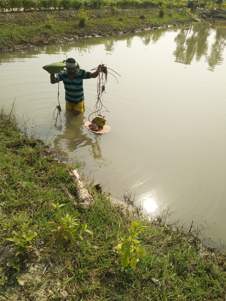 Mukti Is Planting Lotus Flower In The Ponds Of Purba Sridhar...