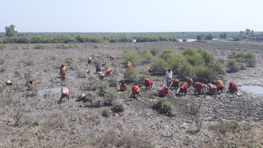 Mangrove Plantation Program By Mukti At Bhubaneswari Island