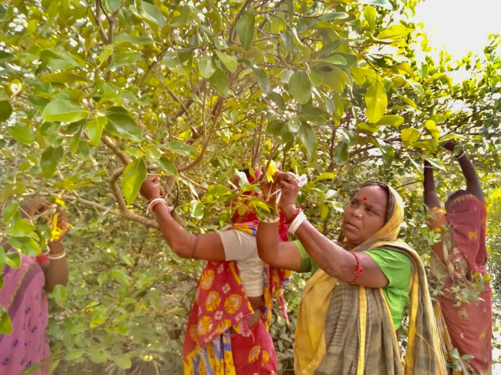Women Of Purba Sridharpur Tied Rakhi On The Branches Of The Mangroves